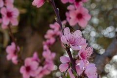 Blumen der Pfirsichblüte auf dem Gebiet lizenzfreie stockfotografie
