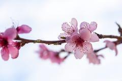 Blumen der Pfirsichblüte auf dem Gebiet lizenzfreie stockfotos