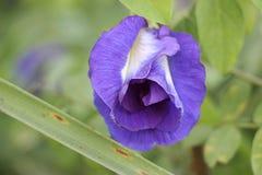 Blumen der purpurroten Erbse können in Kräuter gemacht werden Stockfotografie