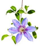 Blumen der purpurroten Klematis lokalisiert auf weißem Hintergrund Stockfotografie