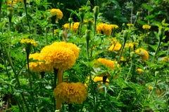 Blumen der Ringelblume Lizenzfreie Stockfotografie