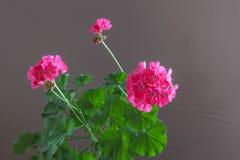 Blumen der rosa Pelargonie auf einem braunen Hintergrund Stockfoto