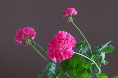 Blumen der rosa Pelargonie auf einem braunen Hintergrund Lizenzfreies Stockfoto