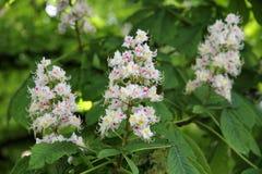Blumen der Rosskastanie (Aesculus hippocastanum, Conkerbaum) Stockfoto