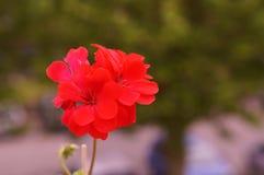 Blumen in der roten Farbe Phasen- Front View lizenzfreie stockfotos
