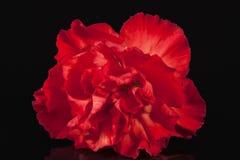Blumen der roten Gartennelke lokalisiert auf schwarzem Hintergrund Lizenzfreie Stockbilder