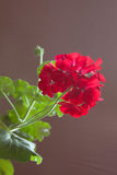 Blumen der roten Pelargonie auf einem braunen Hintergrund Lizenzfreie Stockfotografie
