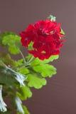 Blumen der roten Pelargonie auf einem braunen Hintergrund Lizenzfreies Stockbild