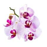 Blumen der schönen rosa Orchidee, lokalisiert Lizenzfreies Stockbild