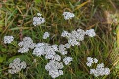 Blumen der Schafgarbe oder Achillea-millefolium in der Wiese Lizenzfreies Stockbild
