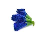 Blumen der Schmetterlingserbse oder der blauen Erbse Lizenzfreies Stockbild