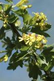 Blumen der Schwarzen Johannisbeere stockfotografie