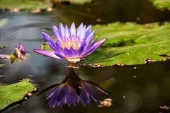 Blumen der Seerose oder des Lotos Stockbild