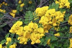 Blumen der Skorpionskassie Lizenzfreie Stockbilder