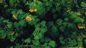 Blumen der Sonnenblume stock footage