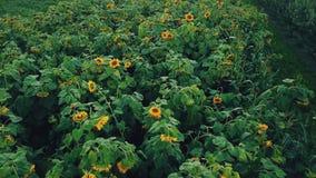 Blumen der Sonnenblume stock video footage