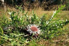 Blumen der Stemless Carline Distel Lizenzfreie Stockbilder