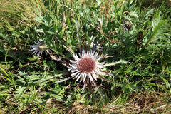 Blumen der Stemless Carline Distel Lizenzfreie Stockfotografie