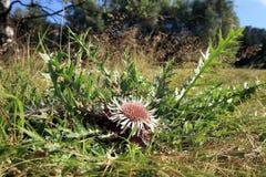 Blumen der Stemless Carline Distel Lizenzfreies Stockfoto