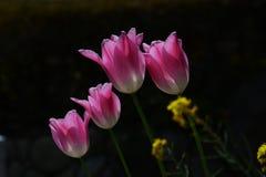 Blumen der Tulpe lizenzfreie stockbilder