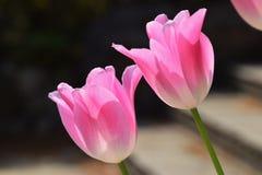 Blumen der Tulpe stockfotografie