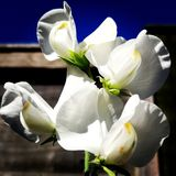 Blumen der weißen Bohne lizenzfreie stockfotografie