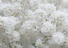 Blumen der weißen Flieder stockfotografie