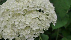 Blumen der weißen Hortensie-Nahaufnahme Stockfotos