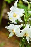Blumen der weißen Lilie Stockbilder
