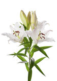 Blumen der weißen Lilie Lizenzfreie Stockfotografie