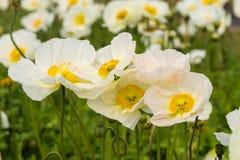 Blumen der weißen Mohnblume Stockfoto