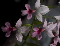 Blumen der Weinzackenorchidee lizenzfreie stockbilder