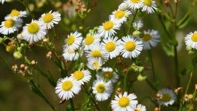 Blumen der wilden Kamille stock video footage