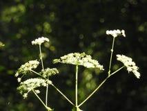 Blumen der wilden Karotte Stockfotos