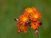 Blumen der wilden Orange auf grünem Hintergrund Lizenzfreie Stockfotos