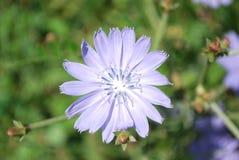 Blumen der wilden Zichorie Lizenzfreie Stockfotos