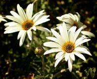 Blumen des afrikanischen Gänseblümchens Lizenzfreie Stockfotos