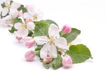 Blumen des Apfelbaums Lizenzfreie Stockfotos