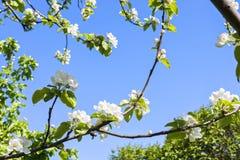 Blumen des Apfelbaums Stockbild