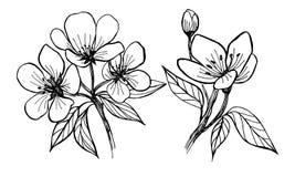 Blumen des Apfelbaums Manuelle Grafiken vektor abbildung