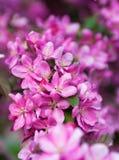 Blumen des Apfels Stockbild