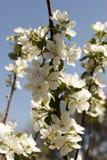 Blumen des Apfels blüht auf einer Frühlingstagesnahaufnahme stockfoto