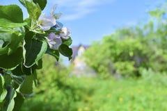 Blumen des Apfels vor dem hintergrund des Gartens, des Himmels und eines Landhauses stockbild