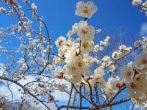 Blumen des Aprikosenbaums Lizenzfreie Stockfotos