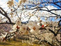 Blumen des Aprikosenbaums Lizenzfreies Stockbild