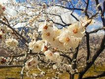 Blumen des Aprikosenbaums Stockfotografie