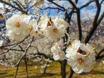 Blumen des Aprikosenbaums Lizenzfreie Stockfotografie