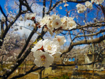 Blumen des Aprikosenbaums Stockbilder