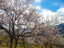 Blumen des Aprikosenbaums Stockfoto