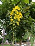 Blumen des Baums der goldenen Dusche Lizenzfreie Stockbilder